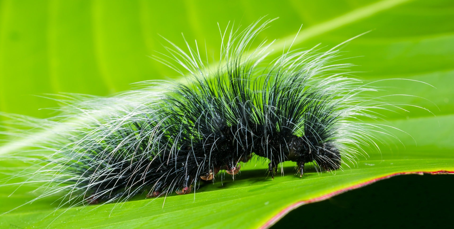 Plants have a trick that drives very hungry caterpillars to cannibalism