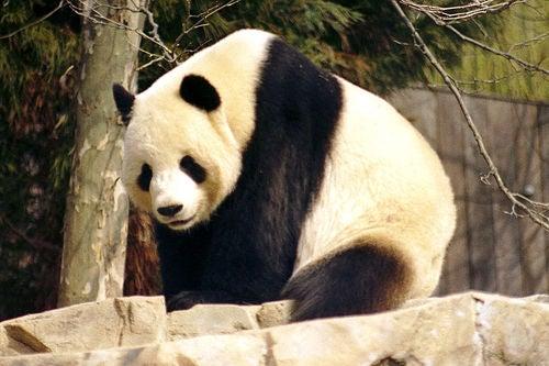 Did Pandas Sense the China Earthquake?