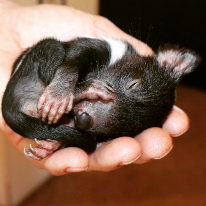 Tasmanian devil joey