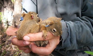 Baby squirrels are less likely to die if they're born early