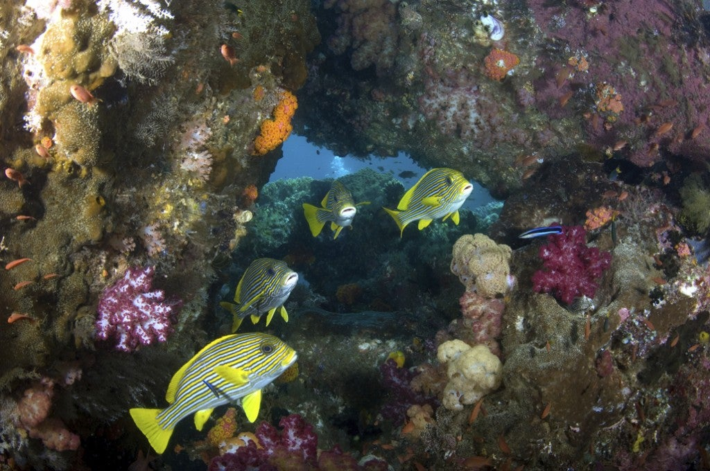 yellow fish and coral reef in indonesia