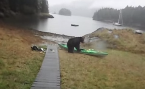 Why Was This Bear Chewing On A Kayak?