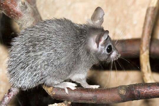 Found: A Rodent With A Menstruation Cycle Similar To Ours