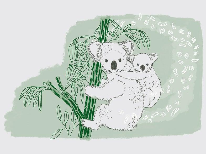 mother and baby koala