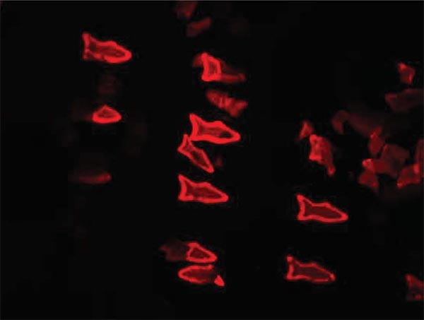 3D Printed Fish Can Detect And Remove Toxins From Liquid