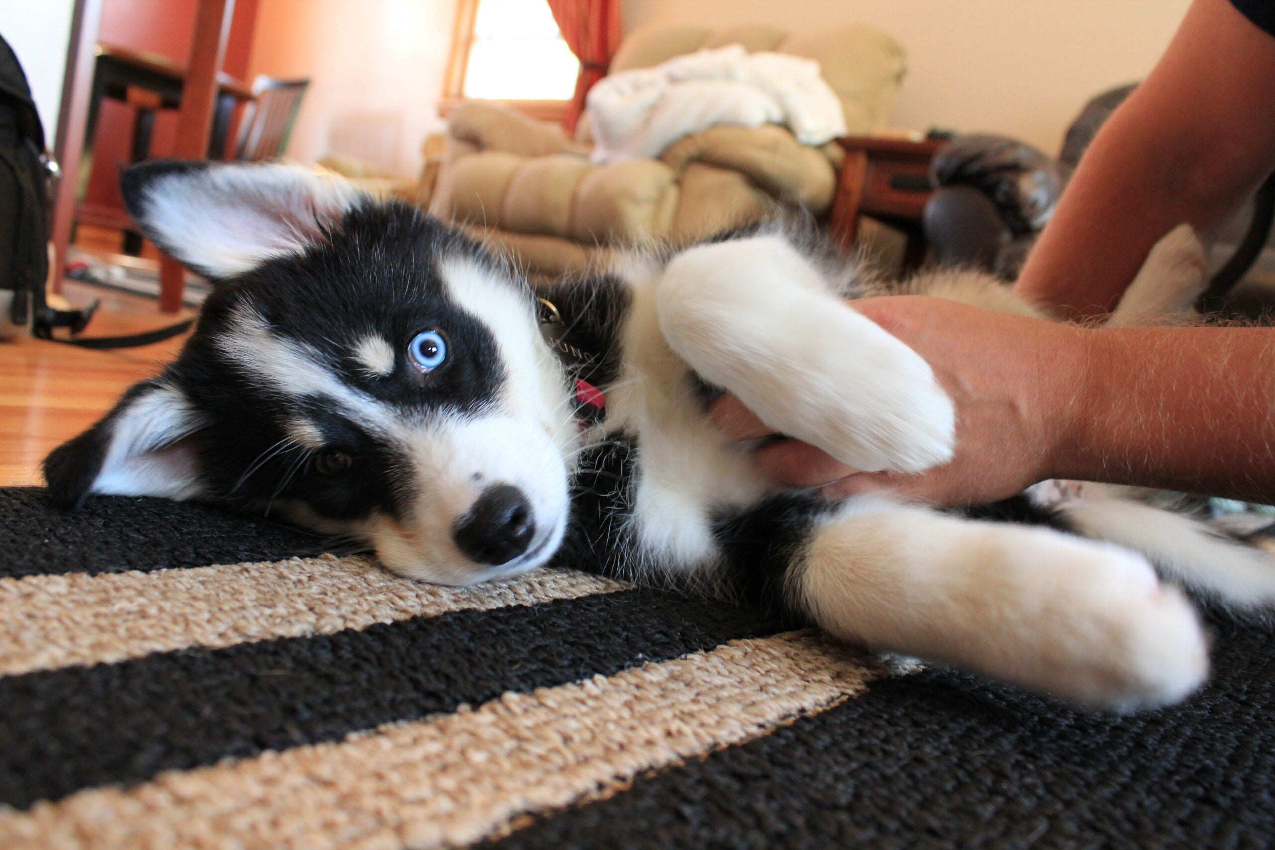 Why Does My Dog Kick When I Scratch His Belly?