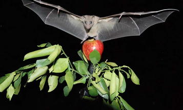 A Special Brain Compass Helps Bats, And Other Animals, Navigate Correctly