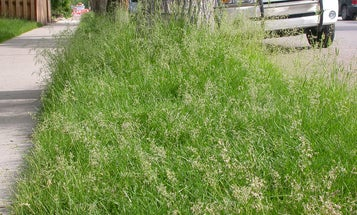 USDA Won't Regulate Genetically Modified Grass, Sparking Superweed Worries