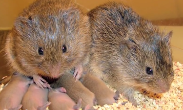 What Drunk Prairie Voles Can Tell Us About Booze And Relationships