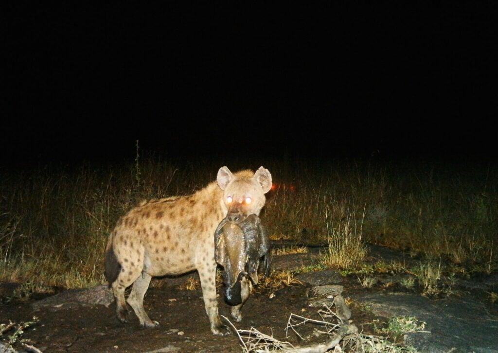 """Hyena"