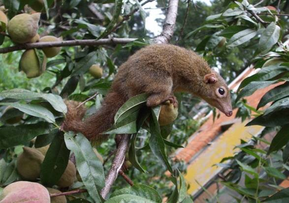 These tiny tree shrews can handle hotter peppers than you