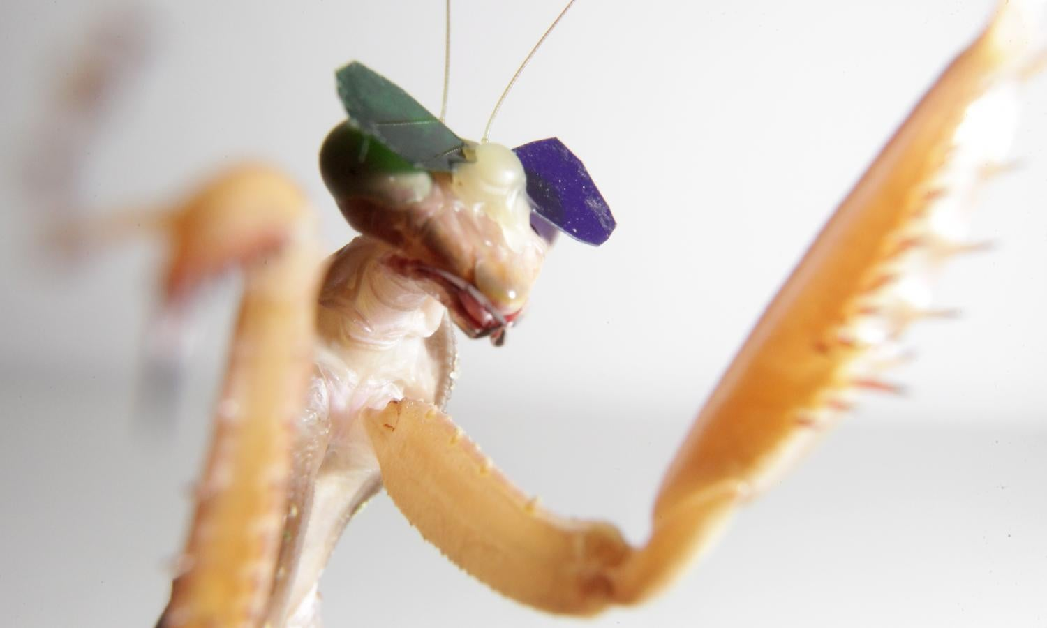 Praying Mantises Wearing 3D Glasses Prove That They Can See In 3D
