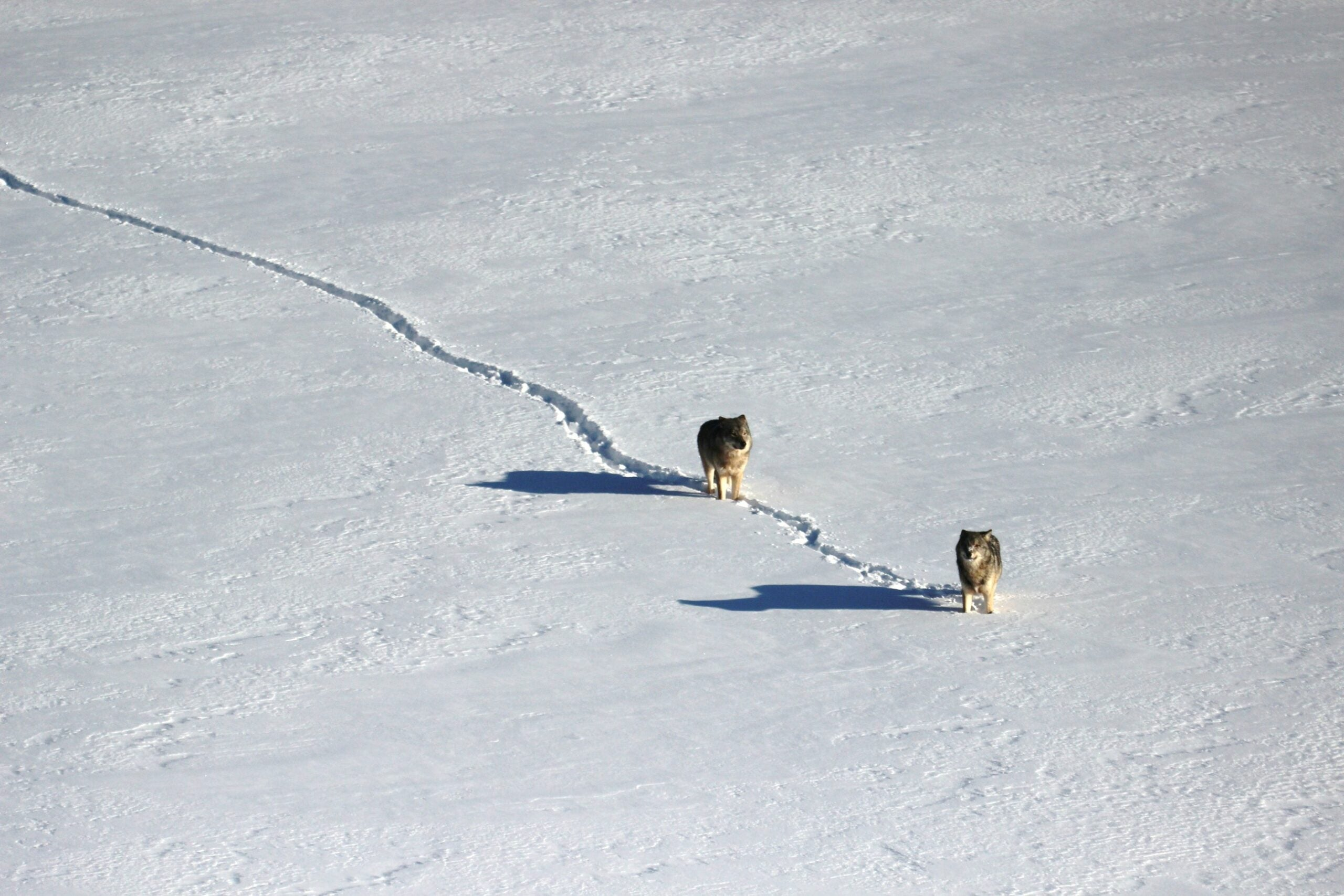 Two wolves travel in a single-file line across ice and snow in winter.