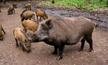 German Boars Are Too Radioactive To Eat