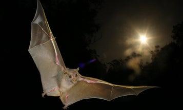 Fruit Bats Have Sonar, Too