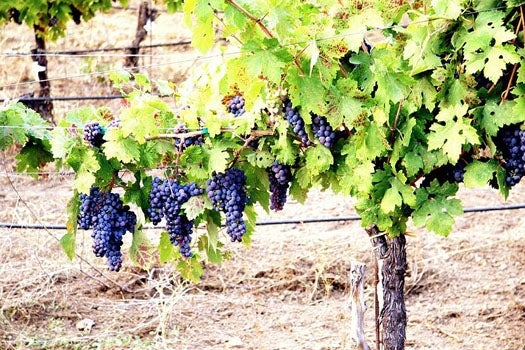 The Future of Wine: We Need New Breeds of Grape