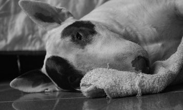 Scientists have identified a gene that's killing purebred dogs. Does that even matter?