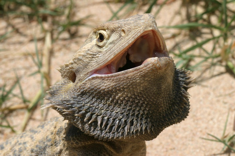 Sex Reversal In Bearded Dragons Creates Females That Behave Like Males