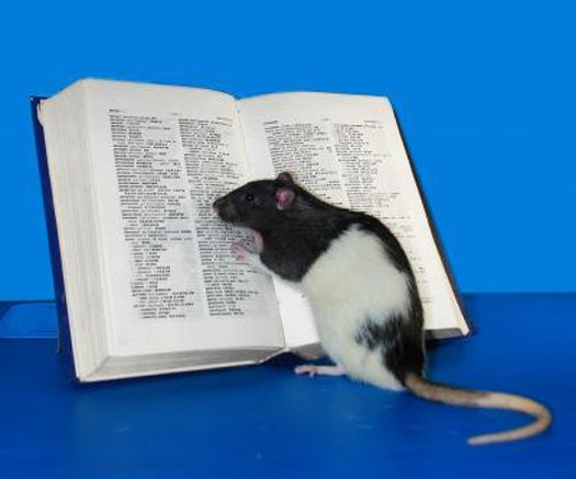 Chinese Scientists Engineer the World's Smartest Rat