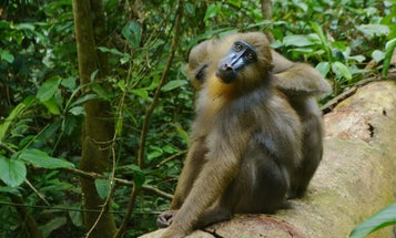 These monkeys avoid sick friends by sniffing their poo