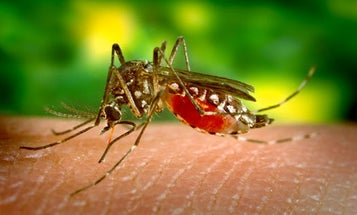 Malaysia Releases 6,000 Genetically Modified Mosquitoes into the Wild