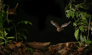 Will Growing Urban Noise Make Bats Worse At Hunting Down Food?