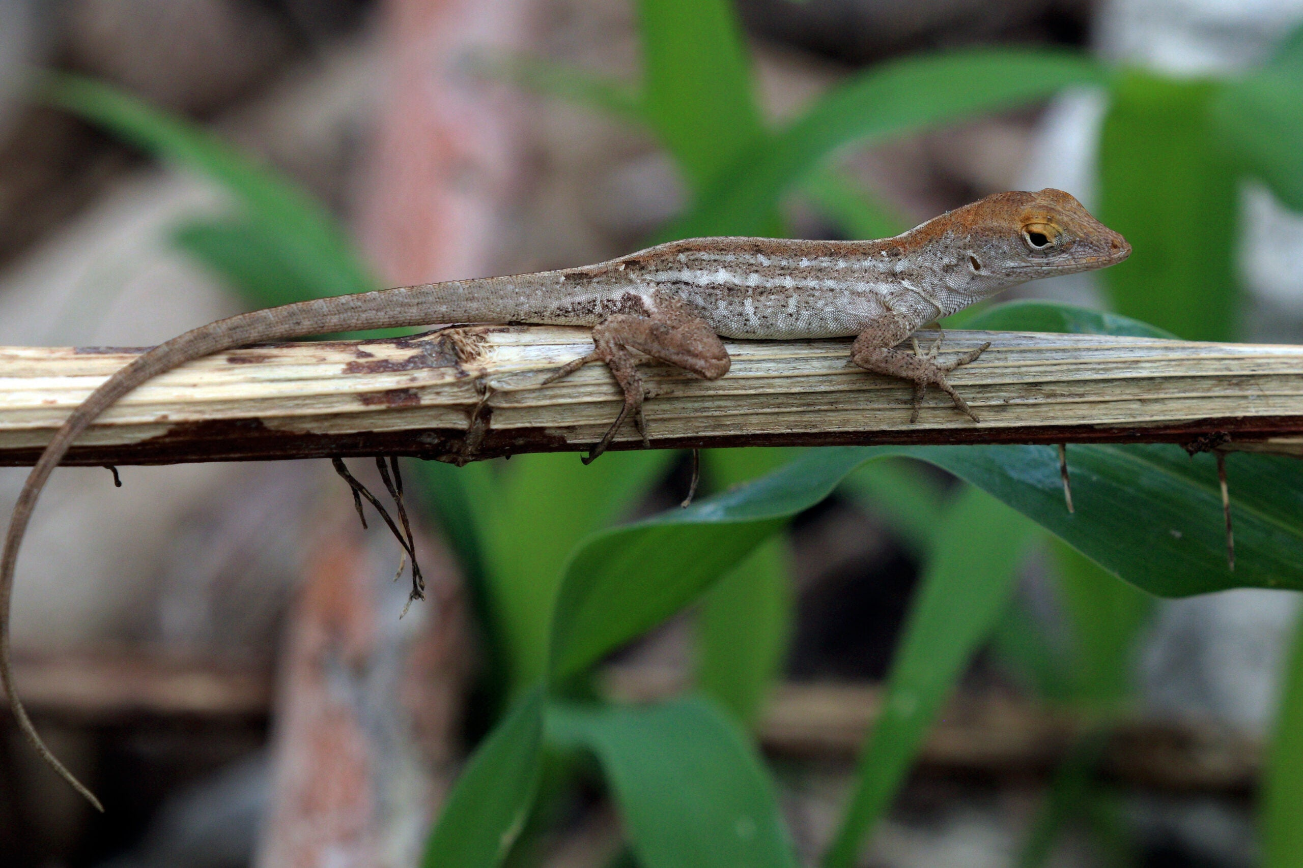 Caught in a race against climate change, lizards hit an evolutionary dead end