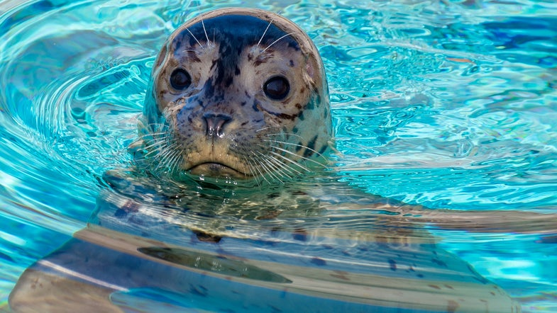 Harbor Seal Pups Die After Beachgoers Take Them Home
