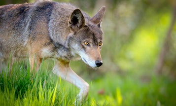 Research on Red, Eastern Wolves' Ancestry Questions Protected Status Of Possible Hybrids
