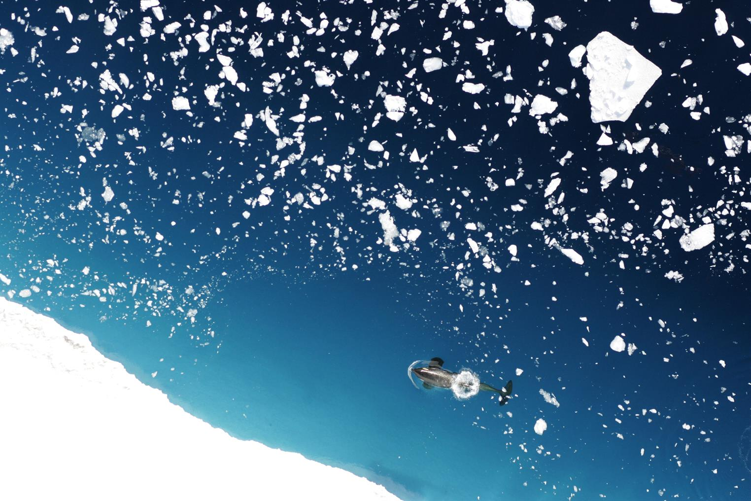 A killer whale swims amid floating ice in the Ross Sea.