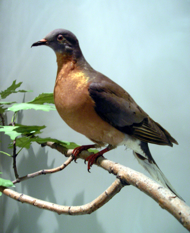 From Untold Billions To None: How Passenger Pigeons Went Extinct