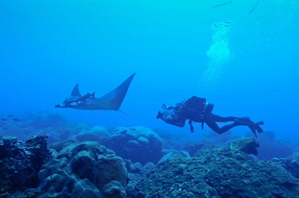 Juvenile manta ray with diver at Flower Garden Banks National Marine Sanctuary.