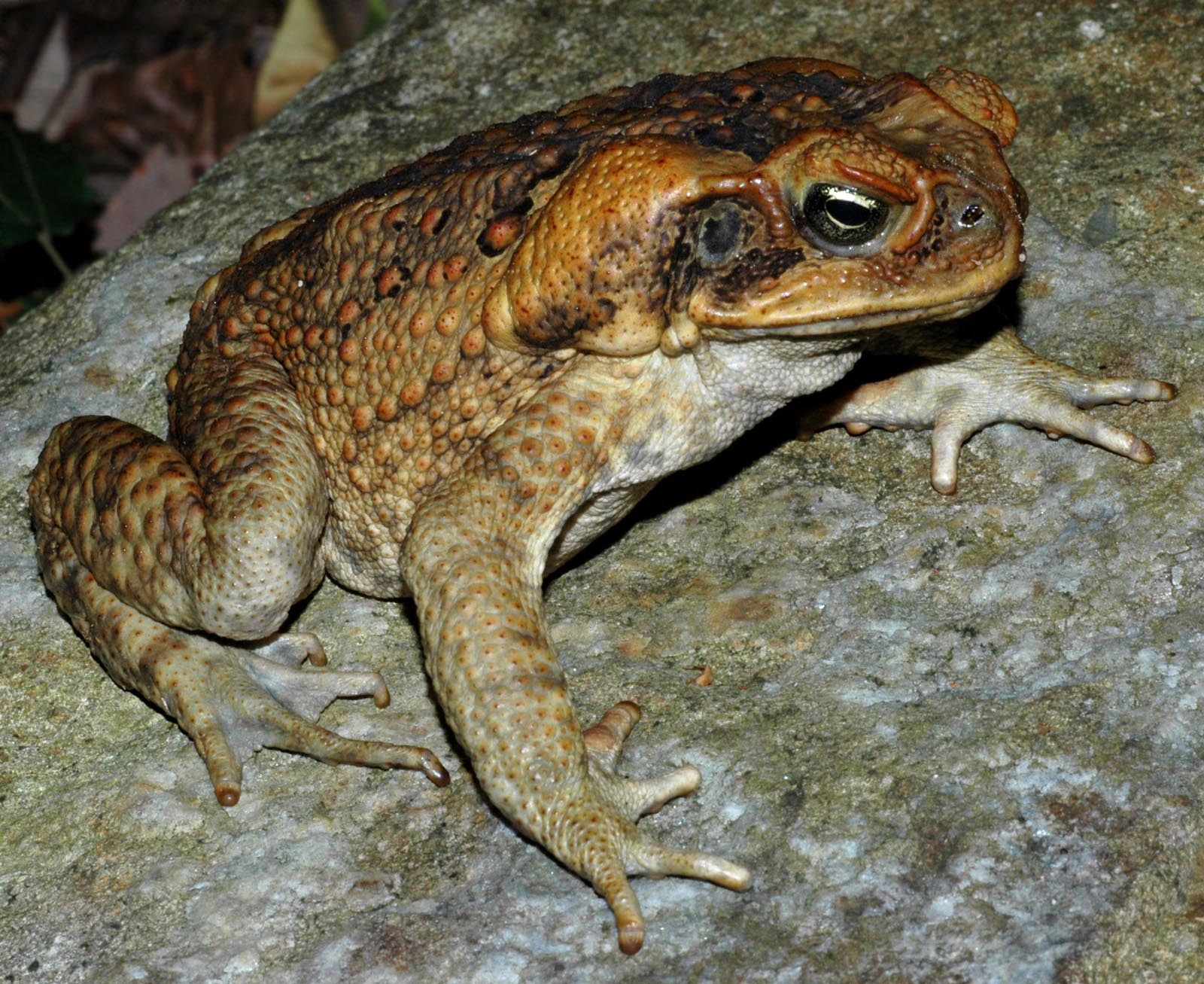 Australia's Invasive Cane Toads Have Evolved To Hop Even Faster