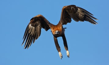 Australian Eagle Takes Down A Drone In A Split Second