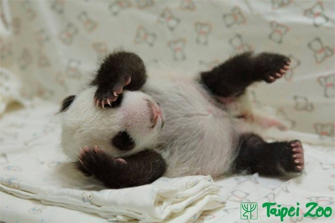 This Baby Panda Reuniting With Her Mom Is The Best Thing You'll See On The Internet Today