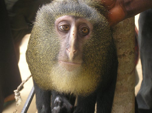 New Monkey Discovered, Looks Like Man In Monkey Suit