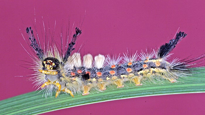 Colombia Plans To Fight Cocaine With Hungry Caterpillars