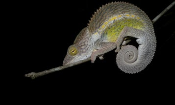 Tiniest Chameleons Have The Most Powerful Tongues