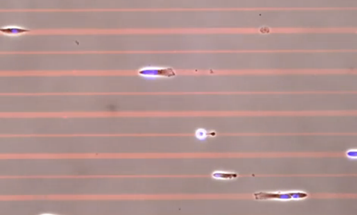 Video: International Cell Race Clocks Cells Speeding Along Microscopic Race Tracks, For Science