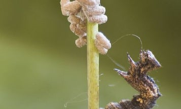 The Voodoo Wasp