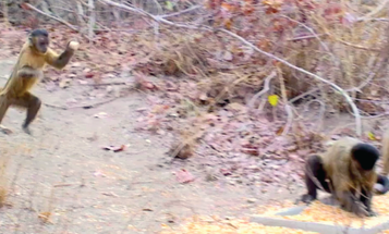 Video: Female Monkeys Throw Stones To Attract Males