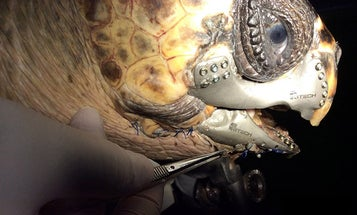 Wounded Sea Turtle Gets A 3D-Printed Jaw