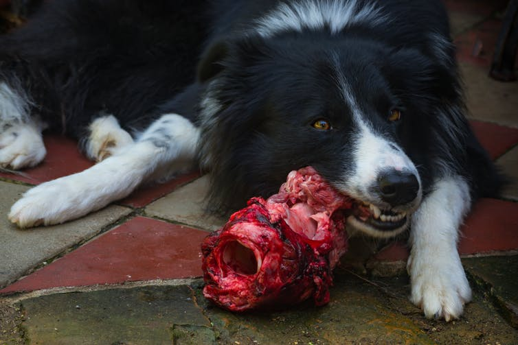 dog eating raw meat