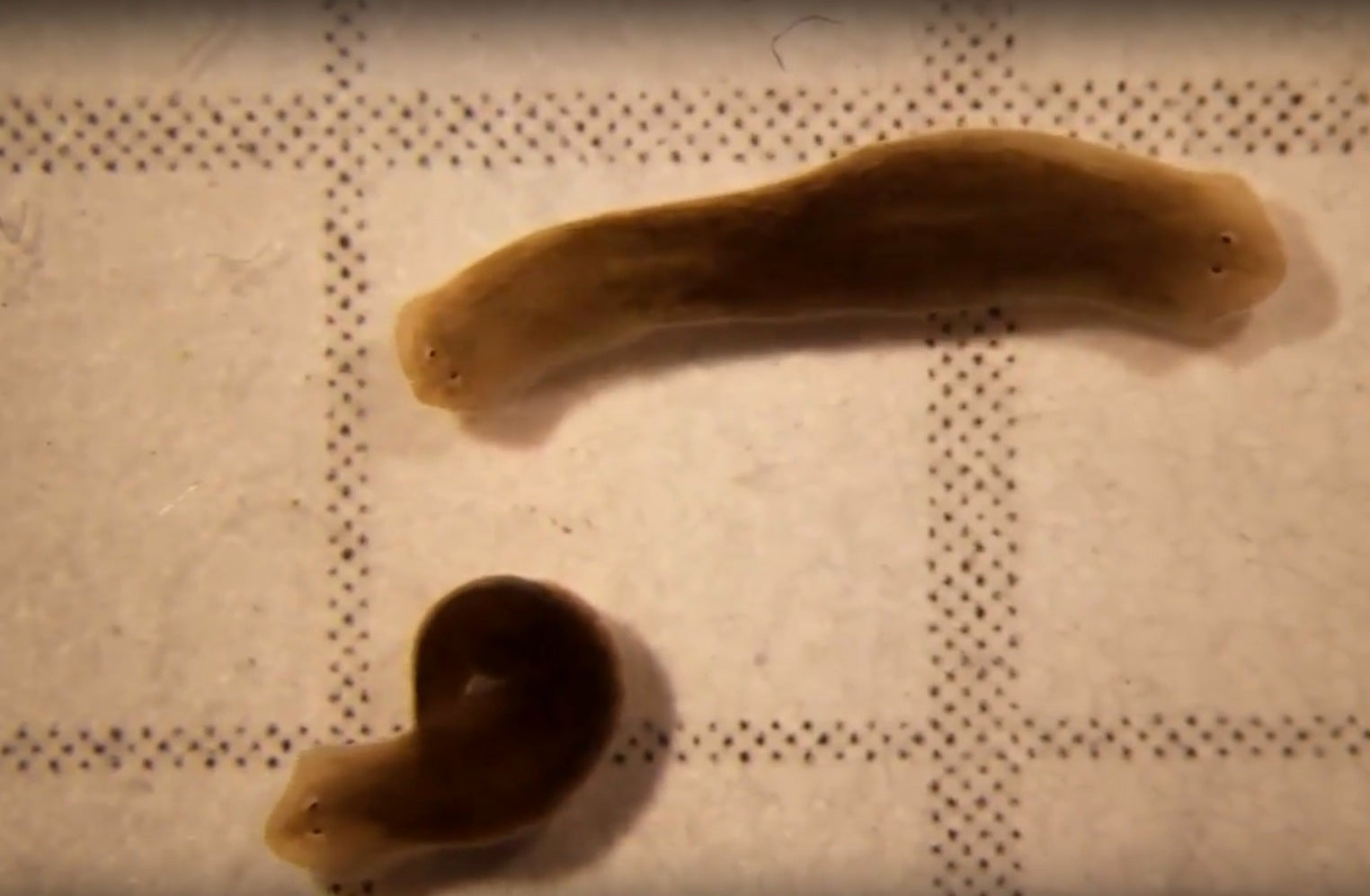 two-headed worm