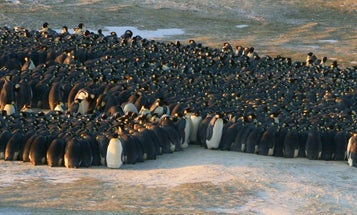 As Lower Levels Melt, Penguins Climb Ice Cliffs To Breed