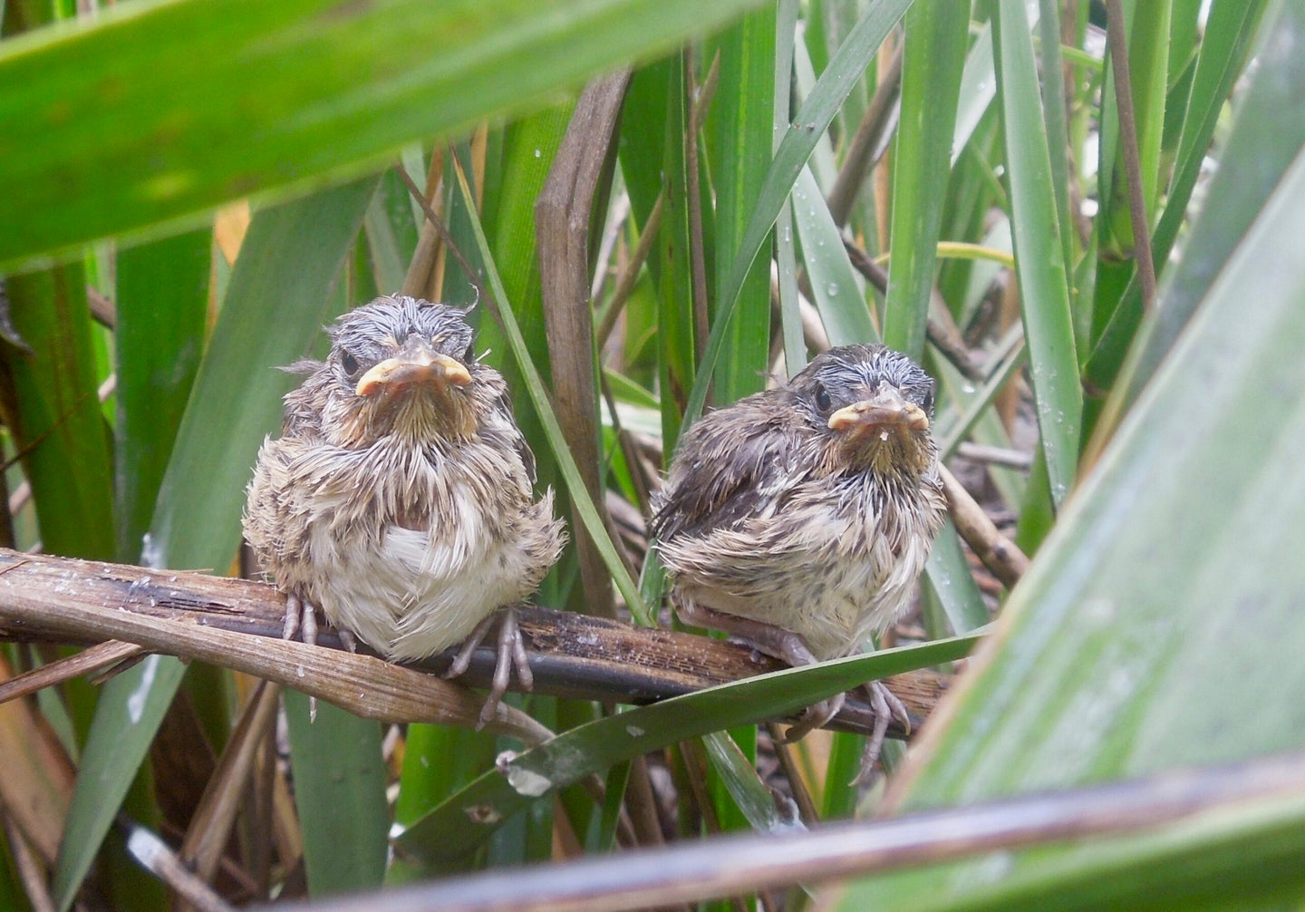 These birds are trapped between predators and rising sea levels