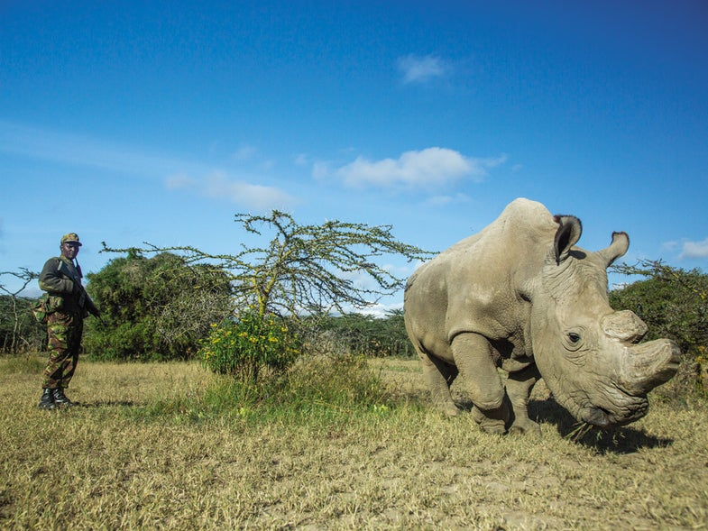 Inside the high-tech, last-ditch effort to save the northern white rhino