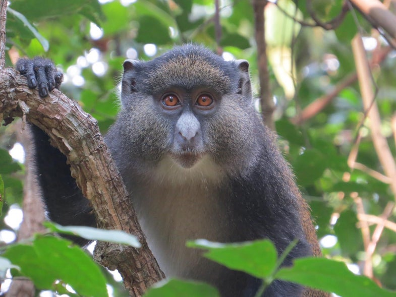 New poop sample analysis reveals interspecies monkey romance
