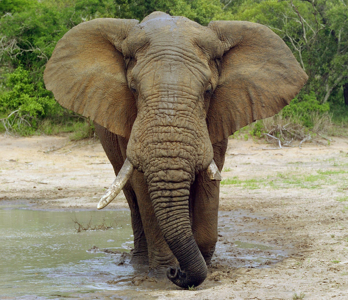 Found: A Gene That Prevents Elephants From Getting Cancer