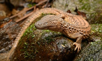 These lizards are the holy grail of herpetology—they're also targets in the illegal wildlife trade